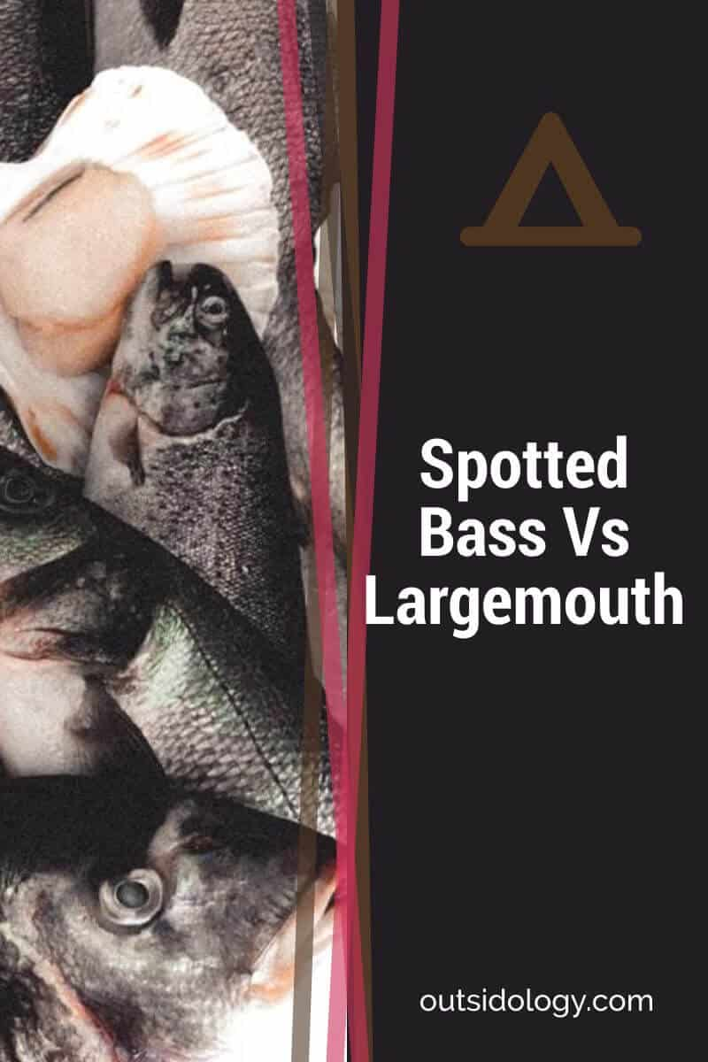 Spotted Bass Vs Largemouth (1)